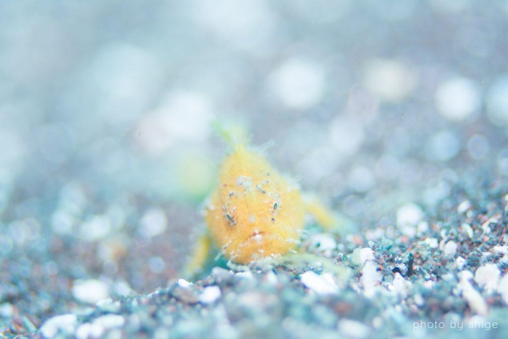 カエルアンコウ 幼魚