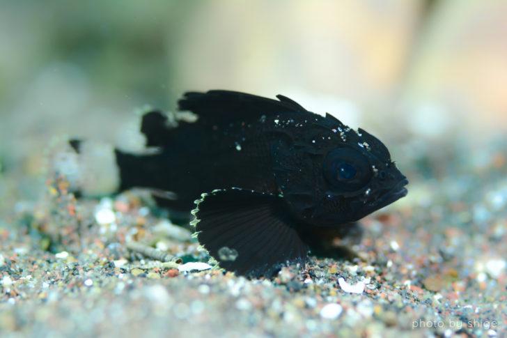ヒレナガミノカサゴ幼魚