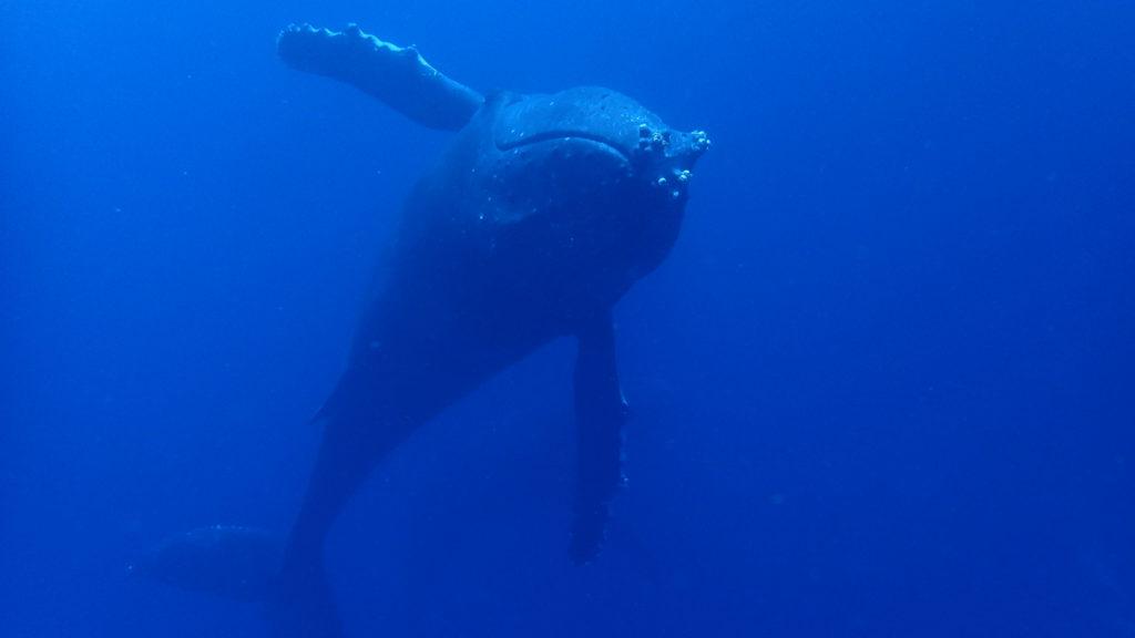 ザトウクジラ④