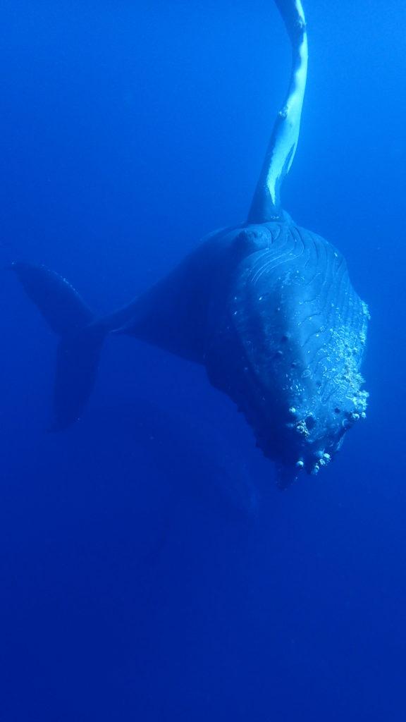 ザトウクジラ⑤