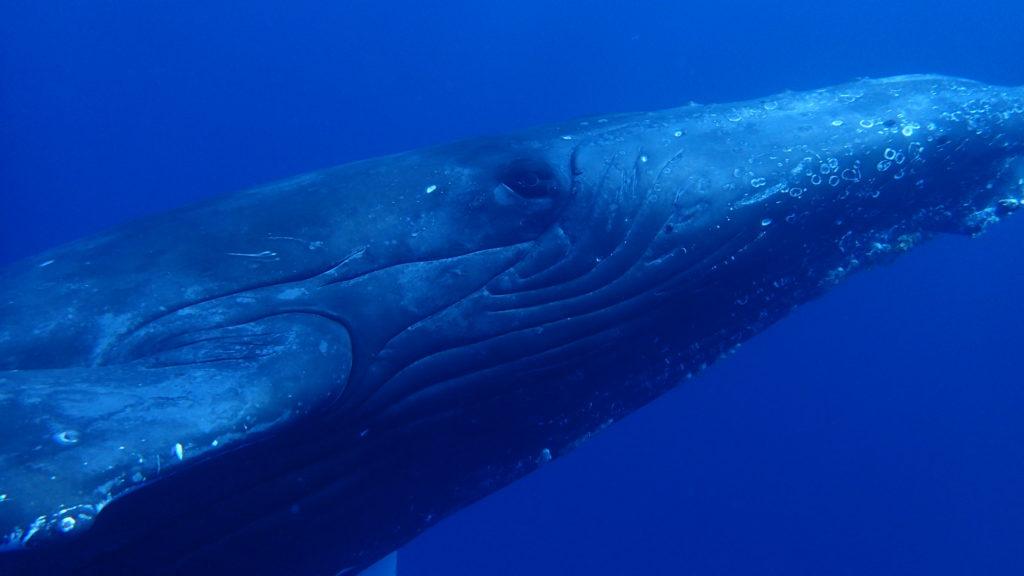 ザトウクジラ②