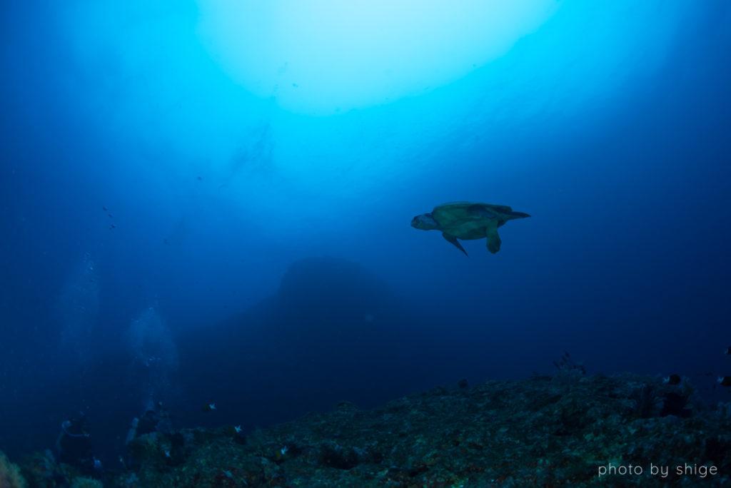 アカウミガメの写真