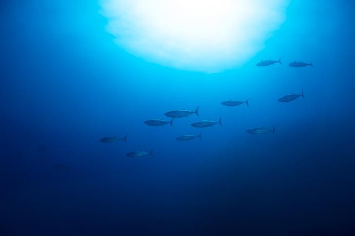 イソマグロの泳ぐ姿