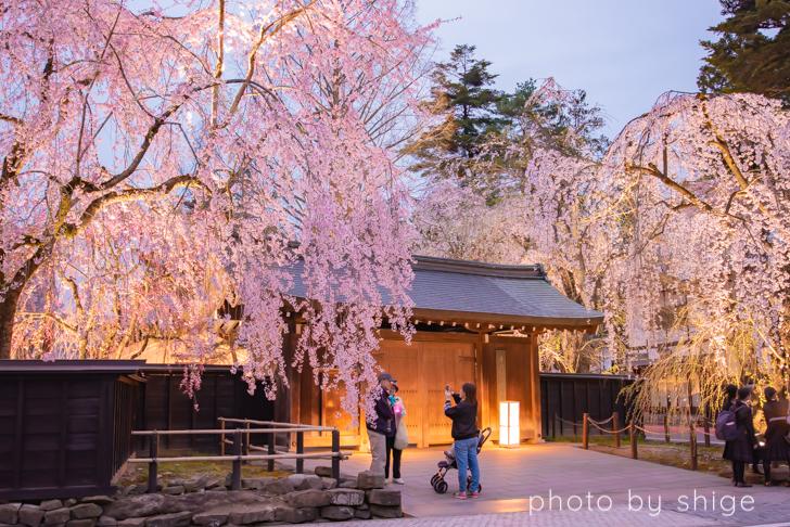 伝承館前のしだれ桜
