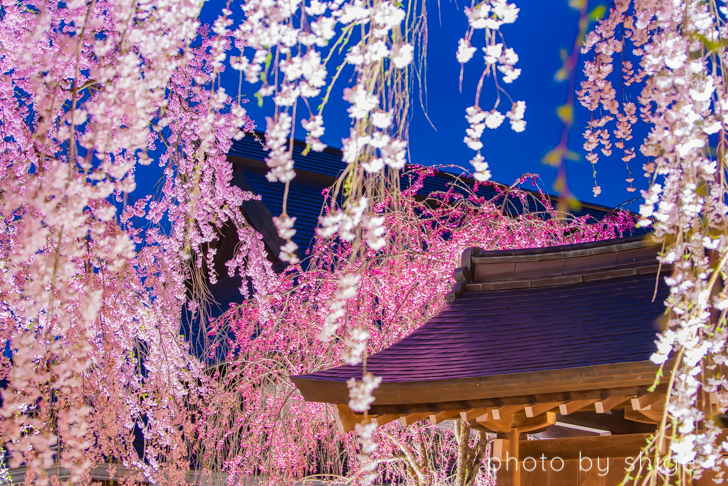 角館桜まつりのさくら