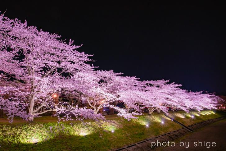 桧木内川堤の桜ライトアップ