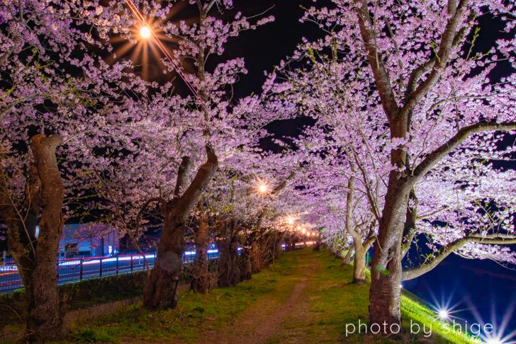 桧木内川の桜ライトアップ