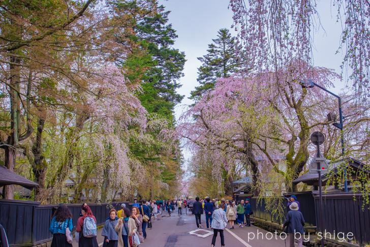 武家屋敷大通りとしだれ桜
