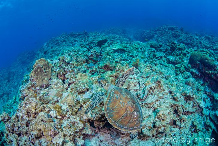 与論島のアオウミガメ