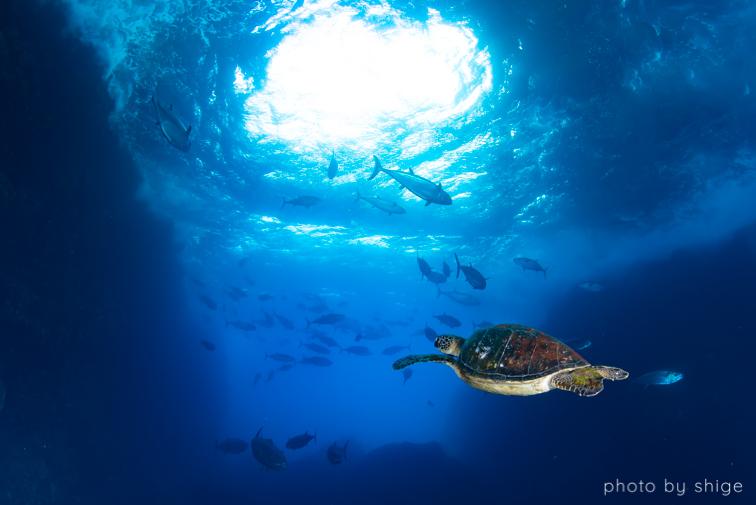 マグロ穴のアオウミガメ